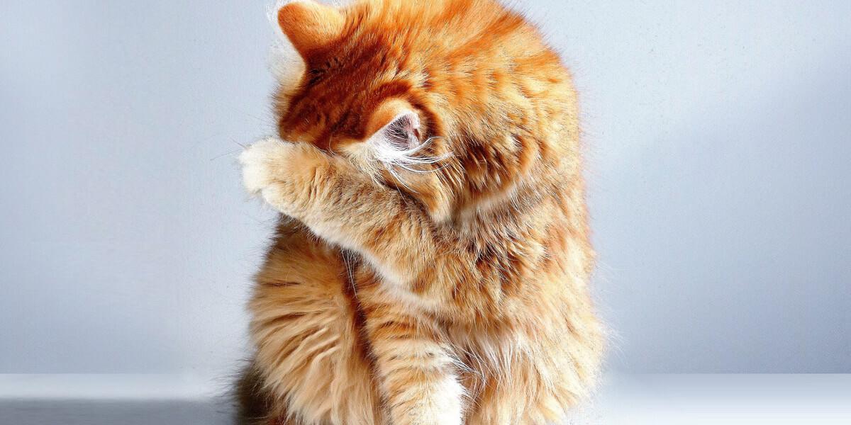 Chat qui vomit les croquettes