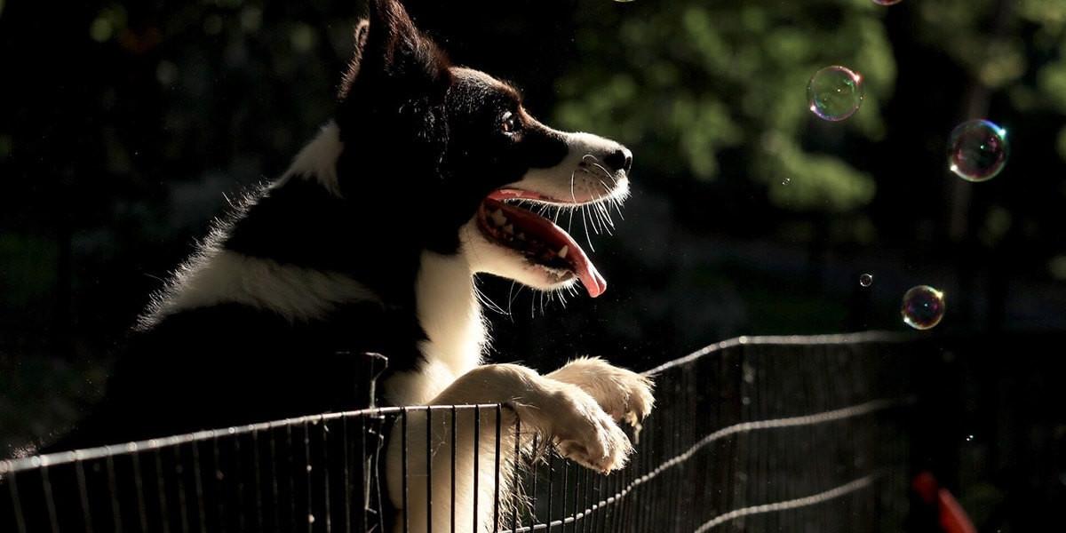Quelle hauteur de clôture pour un chien ?