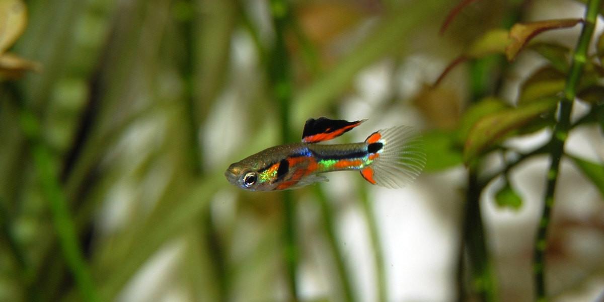 Un aquarium pour Guppy