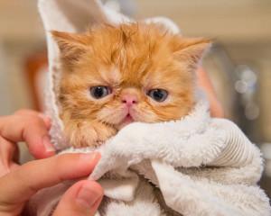 Comment donner un bain à un chaton ?