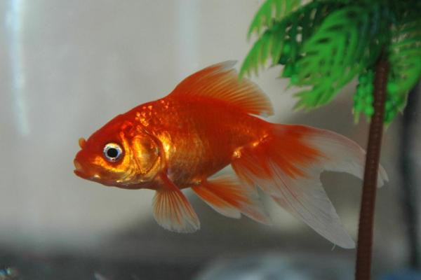 Bien nourrir les poissons rouges