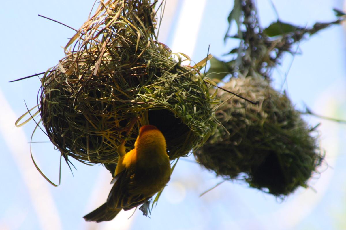 La construction du nid chez l'oiseau