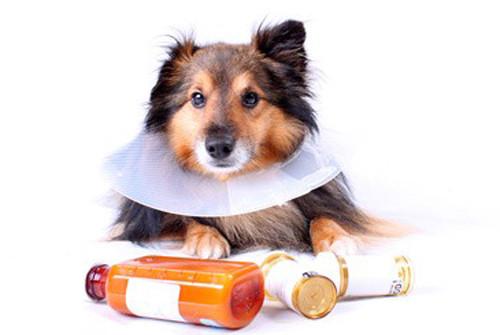 Toux de chenil: maladie canine