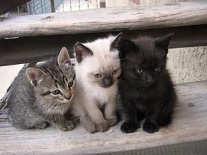 La différence entre chat de race et un chat croisé ?