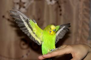 La réglementation pour l'achat d'un oiseau