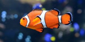 Poissons d'eau de mer : Le poisson clown