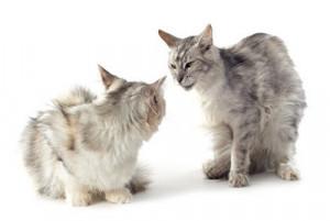 Accouplement et reproduction des chats