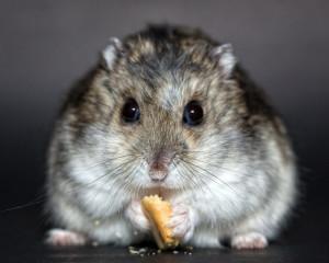 Hamster nain