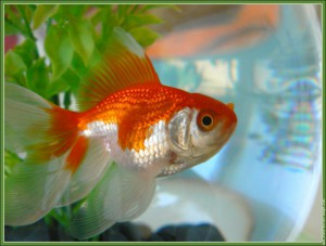 Poissons d'eau froide : Le poisson rouge