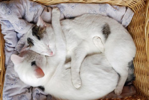 Que faire lorsqu'une chatte est en chaleur ?