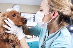 Les vices rédhibitoires du chien