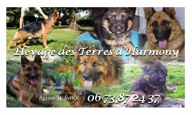 Elevage DES TERRES D HARMONY Berger Allemand*