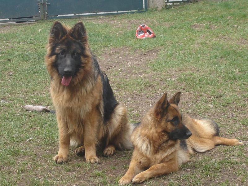 Centre Cynophile BONTE & CHIENS elevage berger allemand*