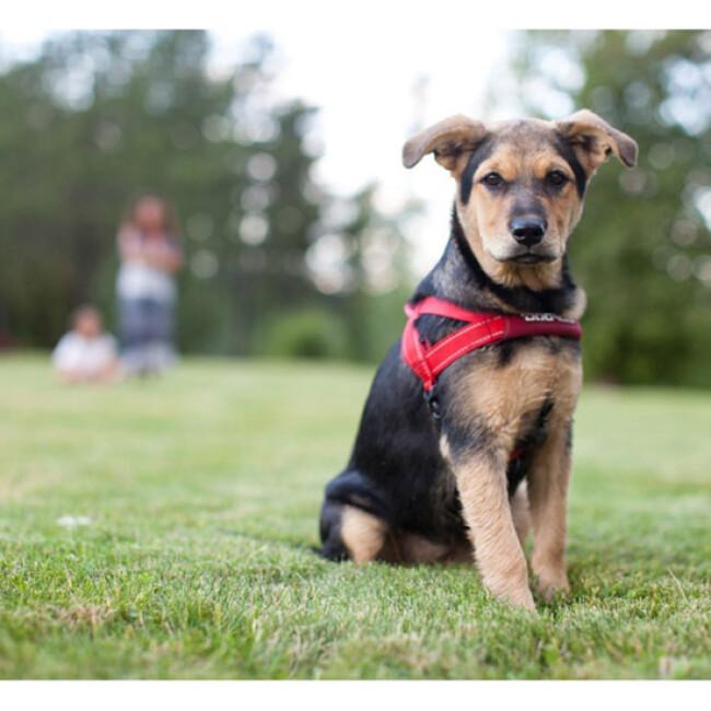 Harnais Norvégien Ezydog Quick Fit pour chien
