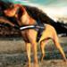 Image 5 - Harnais polyvalent Ezydog Convert pour chien